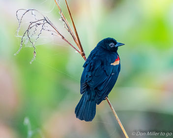 Red-winged Balck Bird - image #414567 gratis