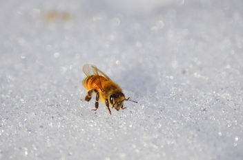 Honeybee in the snow - image #415087 gratis
