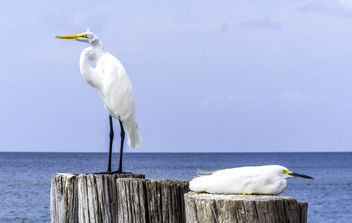Egrets: Great & Snowy - Free image #416247