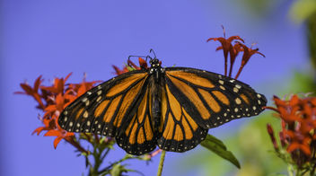 Monarch Butterfly - image #419667 gratis