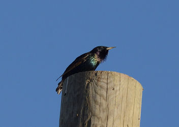 European Starling - image #421597 gratis