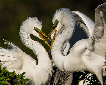 Great White Egret Couple - image #421627 gratis