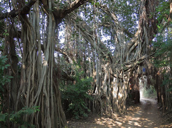 India (Ranthambhore National Park) Tunnel through huge banyan trees - бесплатный image #424437