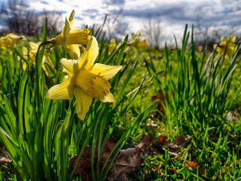 Daffodils in Early Spring - Free image #425527