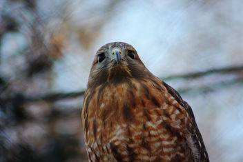 Red-Shouldered Hawk - image #426977 gratis
