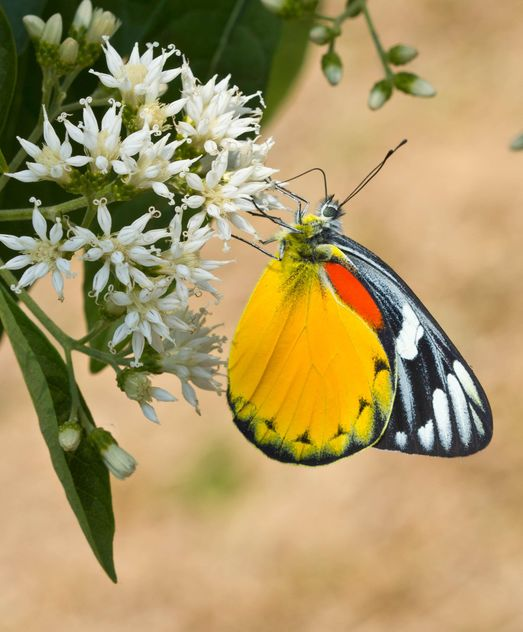 Butterfly on white flowers - бесплатный image #428737