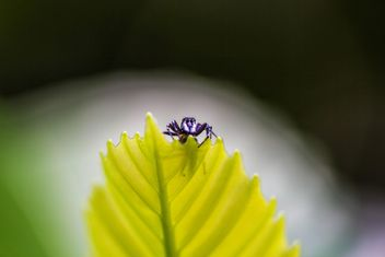 Jumping spider on leaf - image gratuit #428757