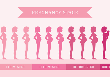 Pregnancy Stage - vector gratuit #429607
