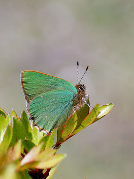 Green Hairstreak - Kostenloses image #434437