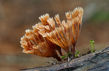 Wine Glass Fungus ( Podoscypha petalodes) - бесплатный image #434497