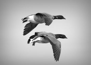 Geese in Flight - image #434517 gratis