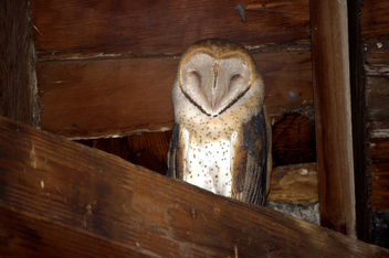 (Wild) Barn Owl at Fielding Garr Ranch - бесплатный image #437327