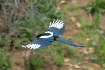 Magpie On The Wing - image gratuit #438327