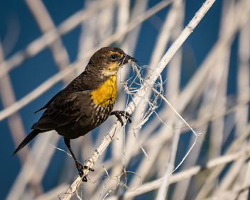 Yellow-headed Blackbird (f) collecting nesting material from reeds - бесплатный image #438877