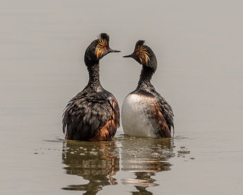 Eared Grebe Courting Dance - Free image #438887