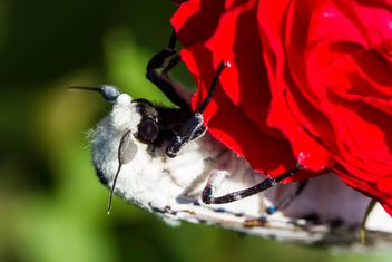 moth on red rose# - image gratuit #438987