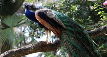 Peacock in a Tree - Free image #441517