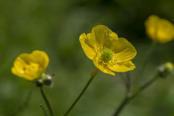 Buttercups all over - image gratuit #442067