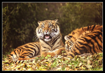 Young Tigers in the Sunshine - image #442077 gratis