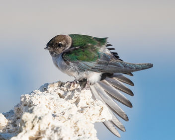 Violet-green Swallow (f) stretching wing while perching on Tufa - image #442547 gratis