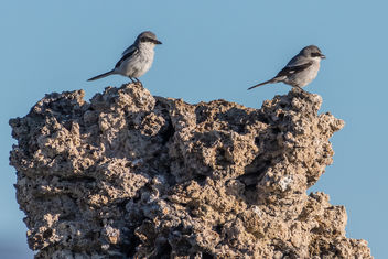 Loggerhead Shrikes perched on Tufa - image gratuit #443717