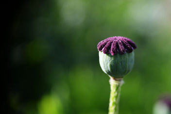 Papaver without petals - image gratuit #444887
