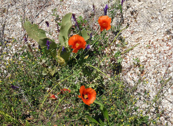 Turkey (Isparta) Wild flowers - image #445667 gratis