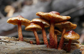 Sulphur tufts (Hypholoma fasciculare) - image #446537 gratis