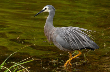 The white-faced heron (Egretta novaehollandiae) - Kostenloses image #446667