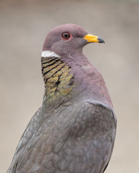 Band-tailed Pigeon - Free image #446797