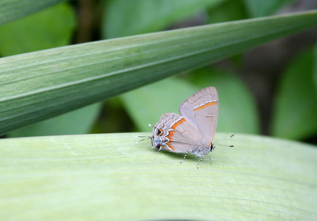 Red-banded Hairstreak (Calycopis cecrops) - Kostenloses image #447547