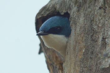 Peek-A-Boo Tree Swallow - image gratuit #447947
