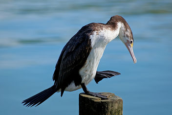 Pied Shag. - Kostenloses image #447977