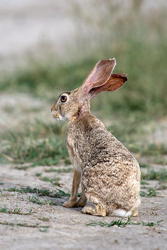 Indian Hare - image #448017 gratis