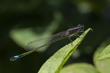 Blauwe waterjuffer - blue-tailed damselfly female - image gratuit #448087