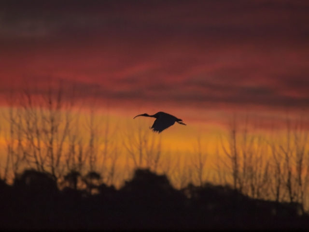 Silhouette of a white Ibis - бесплатный image #448657
