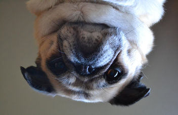 An Upside Down Pug - image gratuit #448727