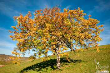Color istogram on a Walnut Tree - бесплатный image #449497