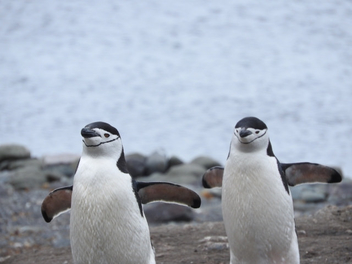 Funny looking penguins - Free image #449697