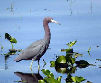 Little Blue Heron - image gratuit #449837