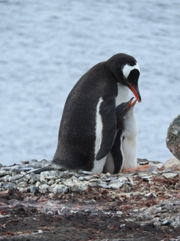 Mother penguin protecting her baby - Free image #449977