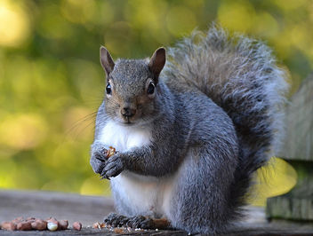 Fattening Up For Winter - image gratuit #450467