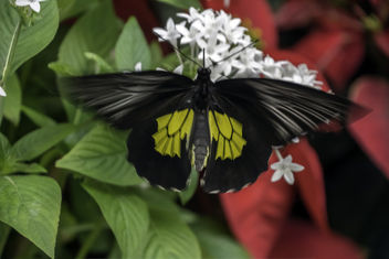 Birdwing Butterfly in Motion - image gratuit #450537