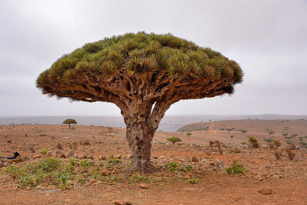 Dragon's Blood Tree - Kostenloses image #450567