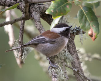 Chestnut-backed Chickadee - image #450897 gratis