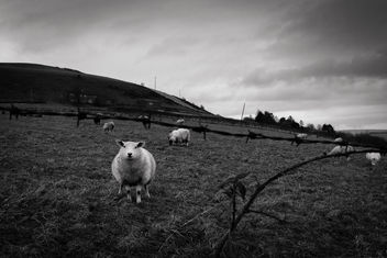 Winter Sheep - 01/365 Project 2018 - Kostenloses image #451047