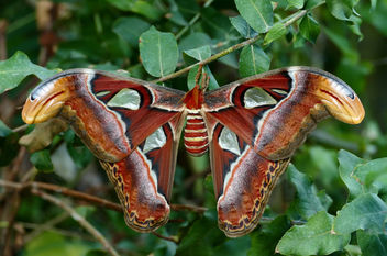 Atlas moth.(Attacus atlas) - бесплатный image #451237