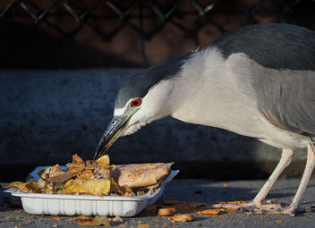 Takeout Night for this Night Heron - Kostenloses image #451347