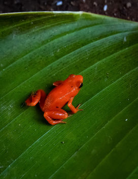 Golden Mantella - Free image #451657