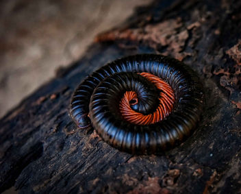 Malagasy Millipede - Free image #451717